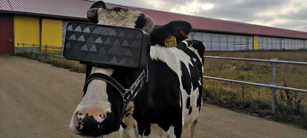Vacas en Rusia usan lentes de realidad virtual para una mejor producción de leche